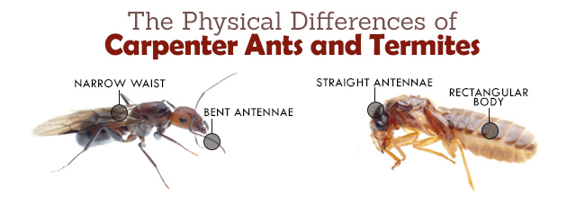 Image Gallery termite ants